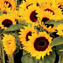 Pre-Seeded Sunflower Garden Roll Out Flowers
