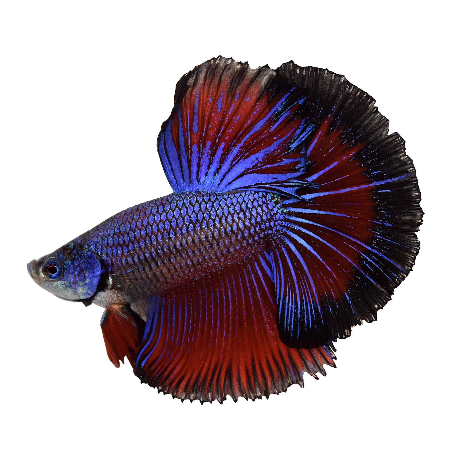 Male halfmoon betta fish siamese fighting fish extra for Types of betta fish petco