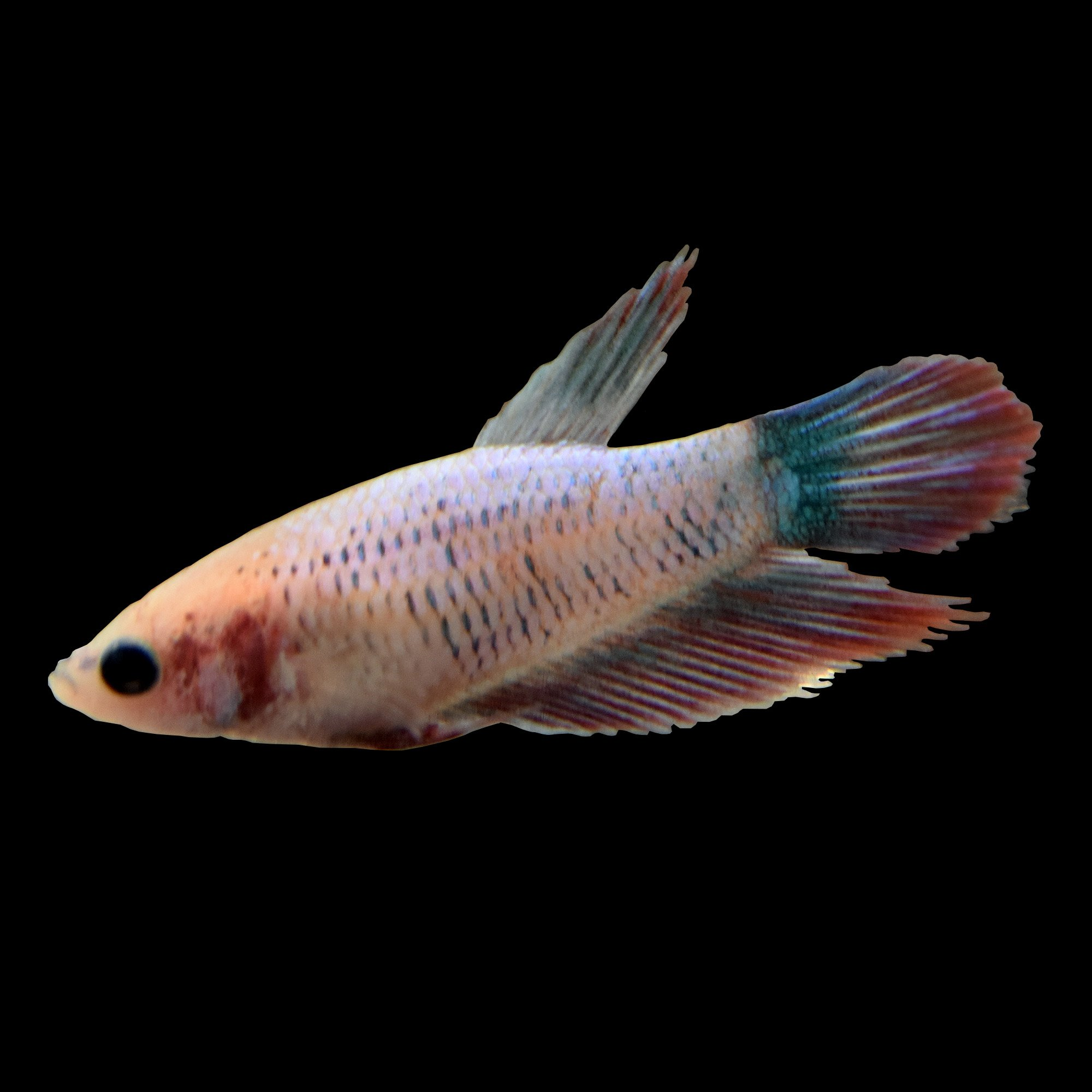 Female veiltail betta fish siamese fighting fish extra for Types of betta fish petco