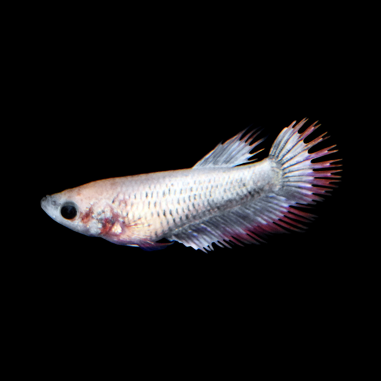 Female Crowntail Betta Extra Large Siamese Fighting Fish X Large