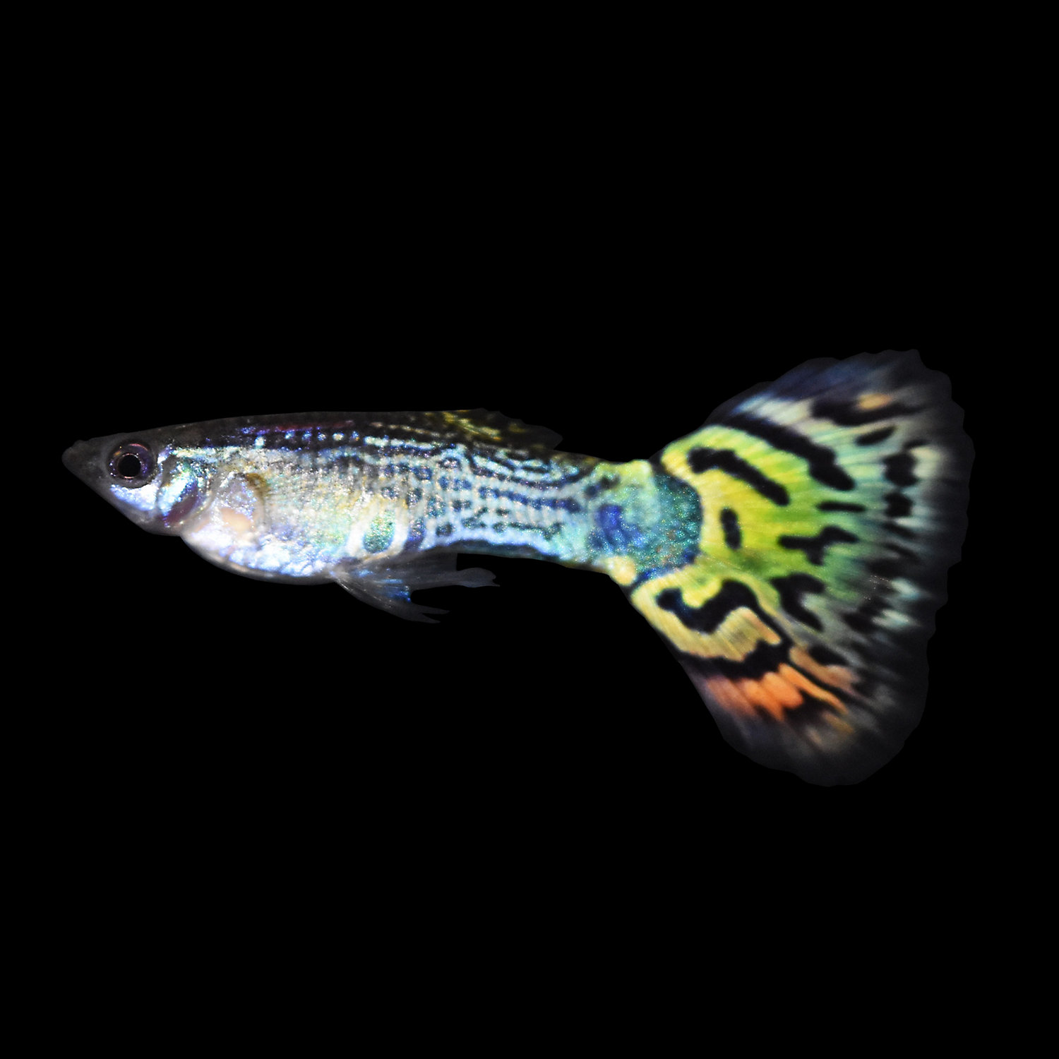 Assorted Male Fancy Guppies Large