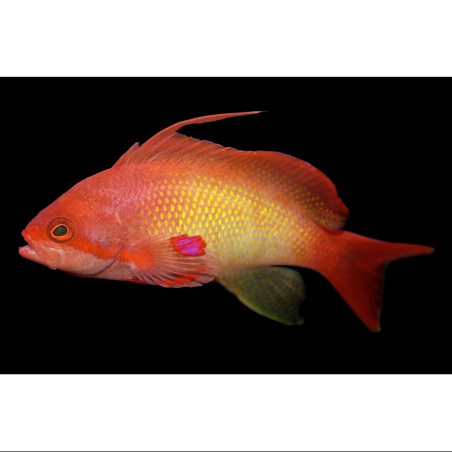 Lyretail Anthias Male Small