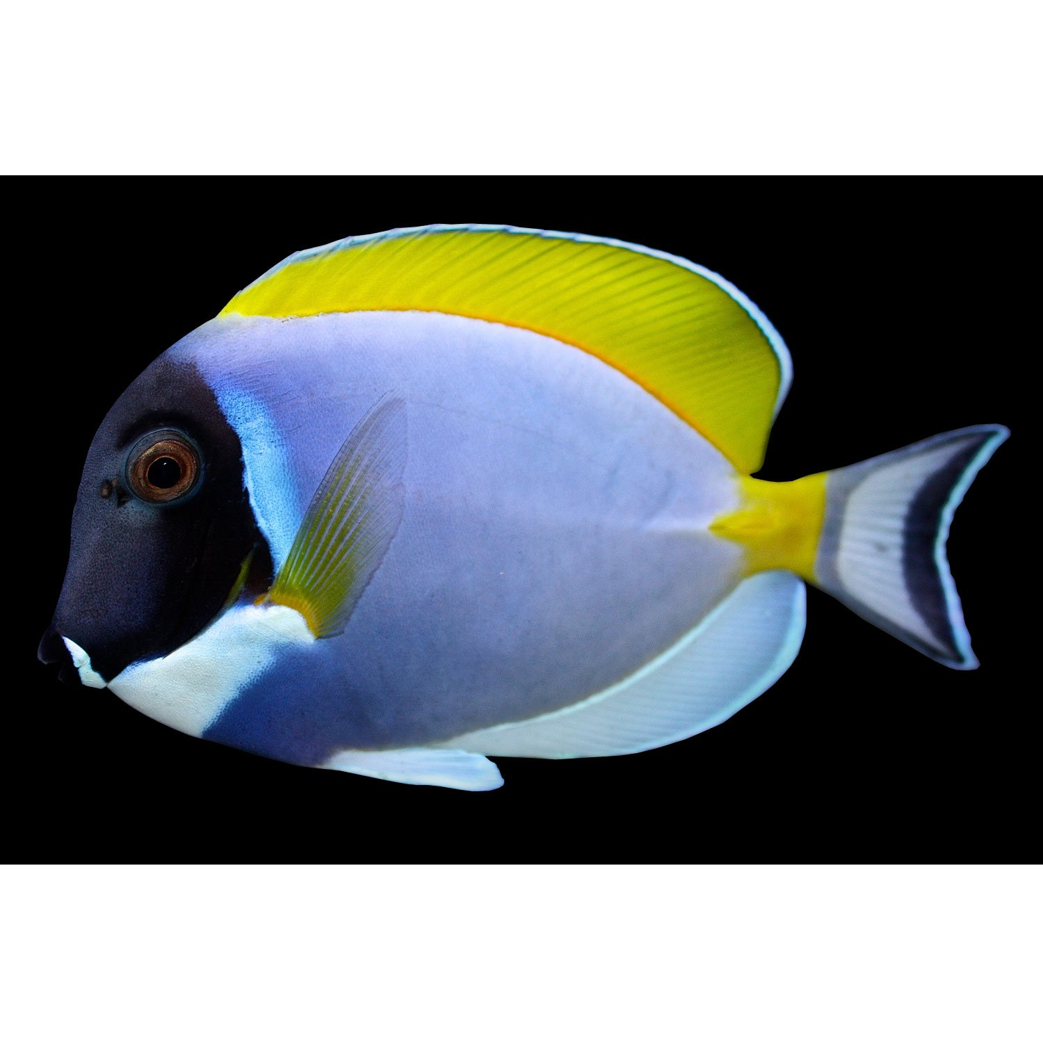 Powder blue tang small petco for Petco live fish