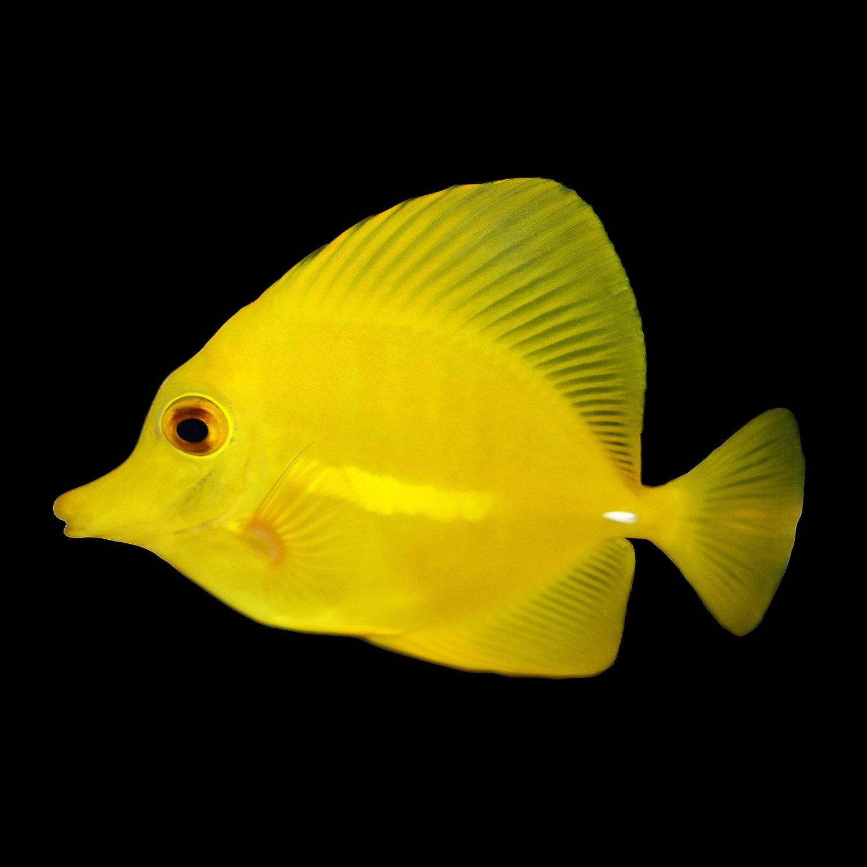 Live fish marine fish surgeonfish tangs pet for Yellow saltwater fish