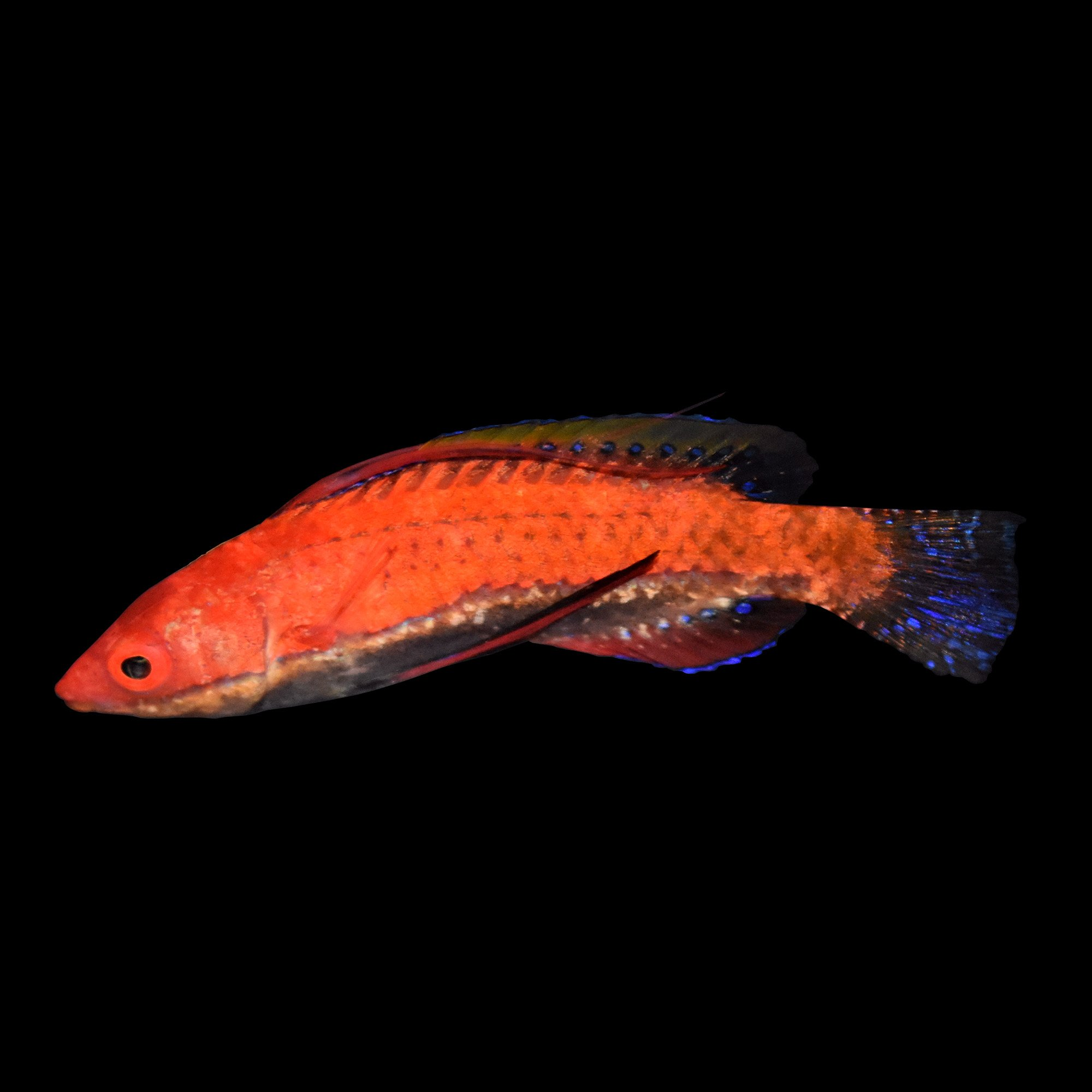 Longfin fairy wrasse petco for Petco live fish