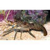 Live Fish: Invertebrates | Petco