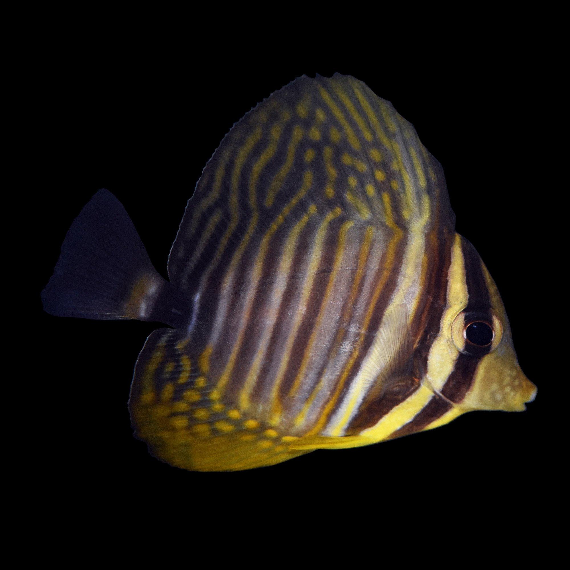 Sailfin tang petco for Petco saltwater fish