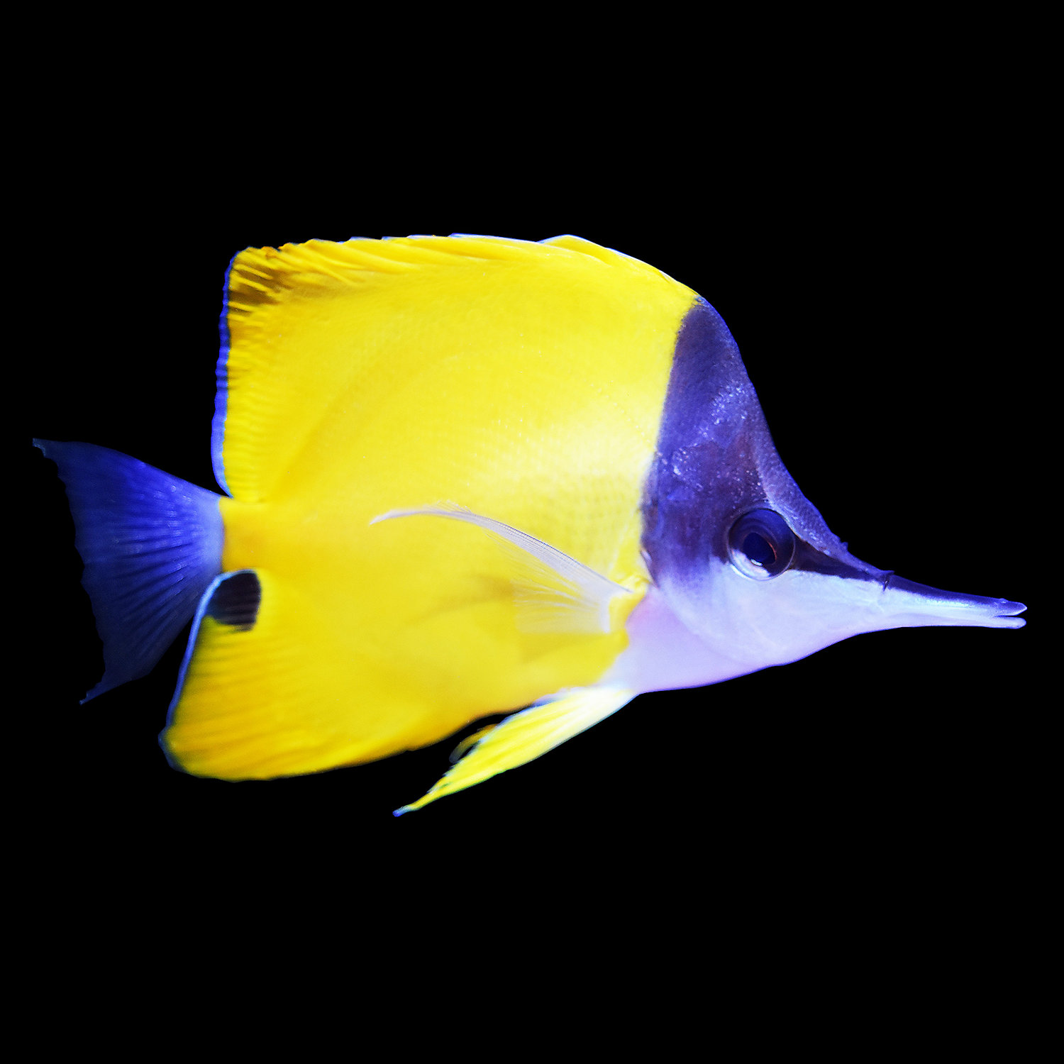 Live fish marine fish butterflyfish pet supplies for Petco live fish