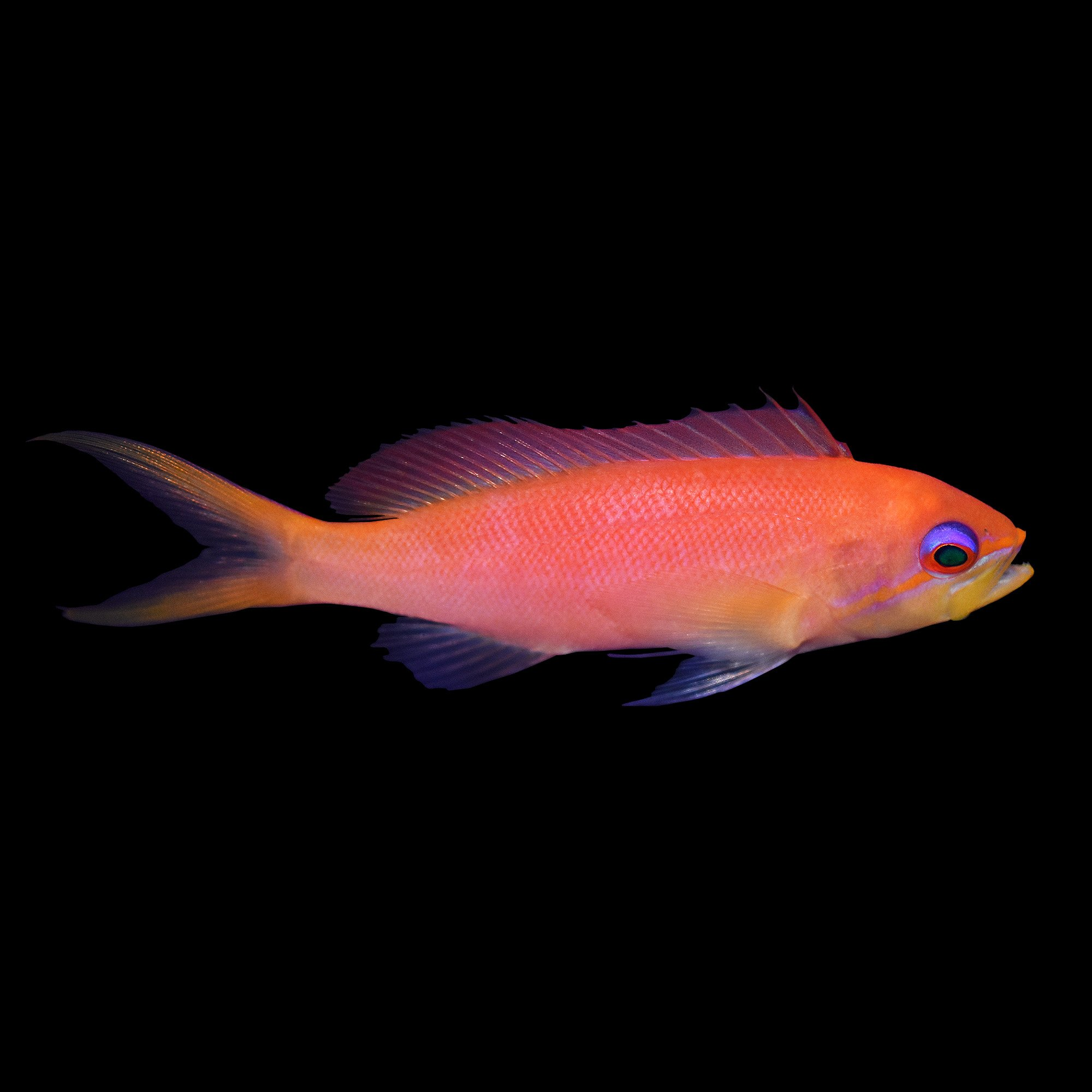 Male dispar anthias petco for Petco live fish