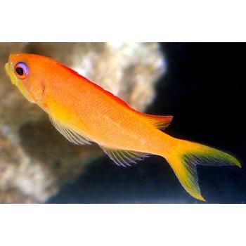 Ignitus anthias female small petco for Petco saltwater fish