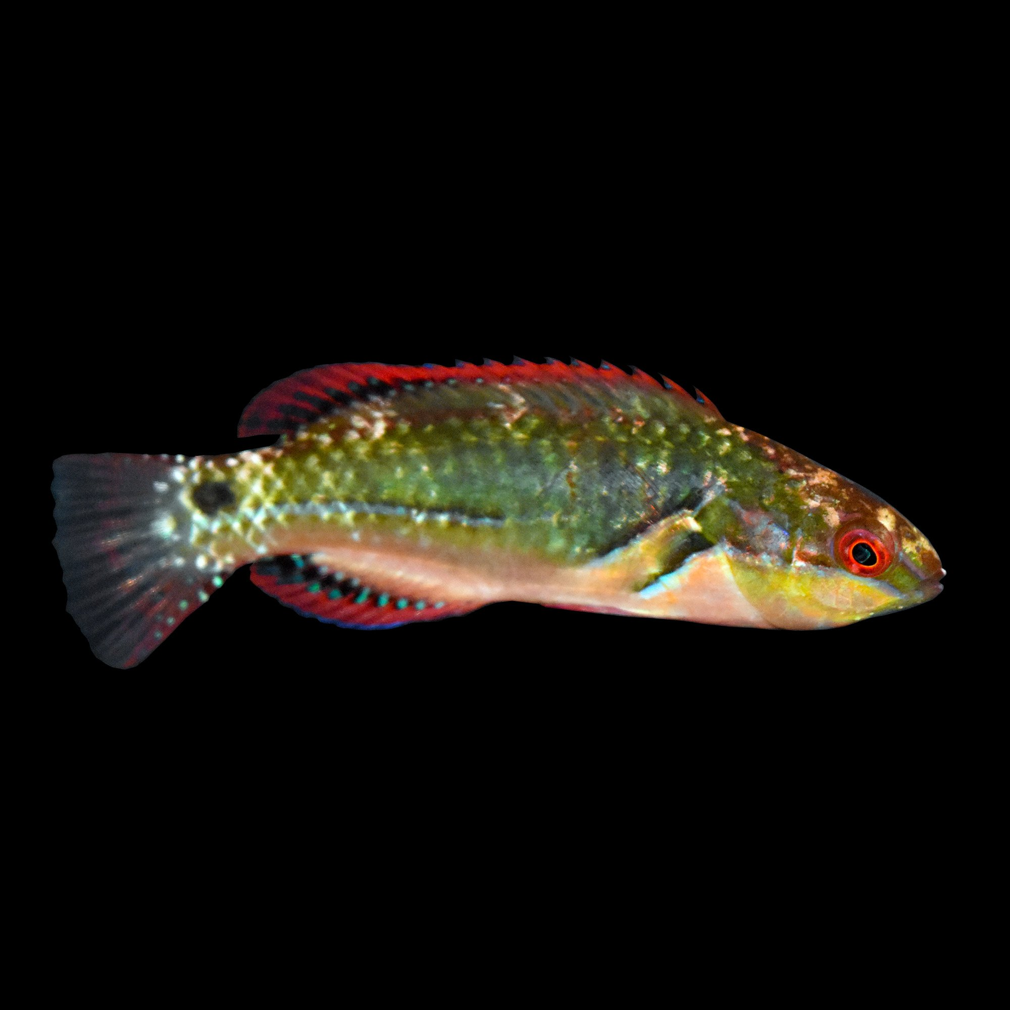 Exquisite wrasse petco for Petco live fish