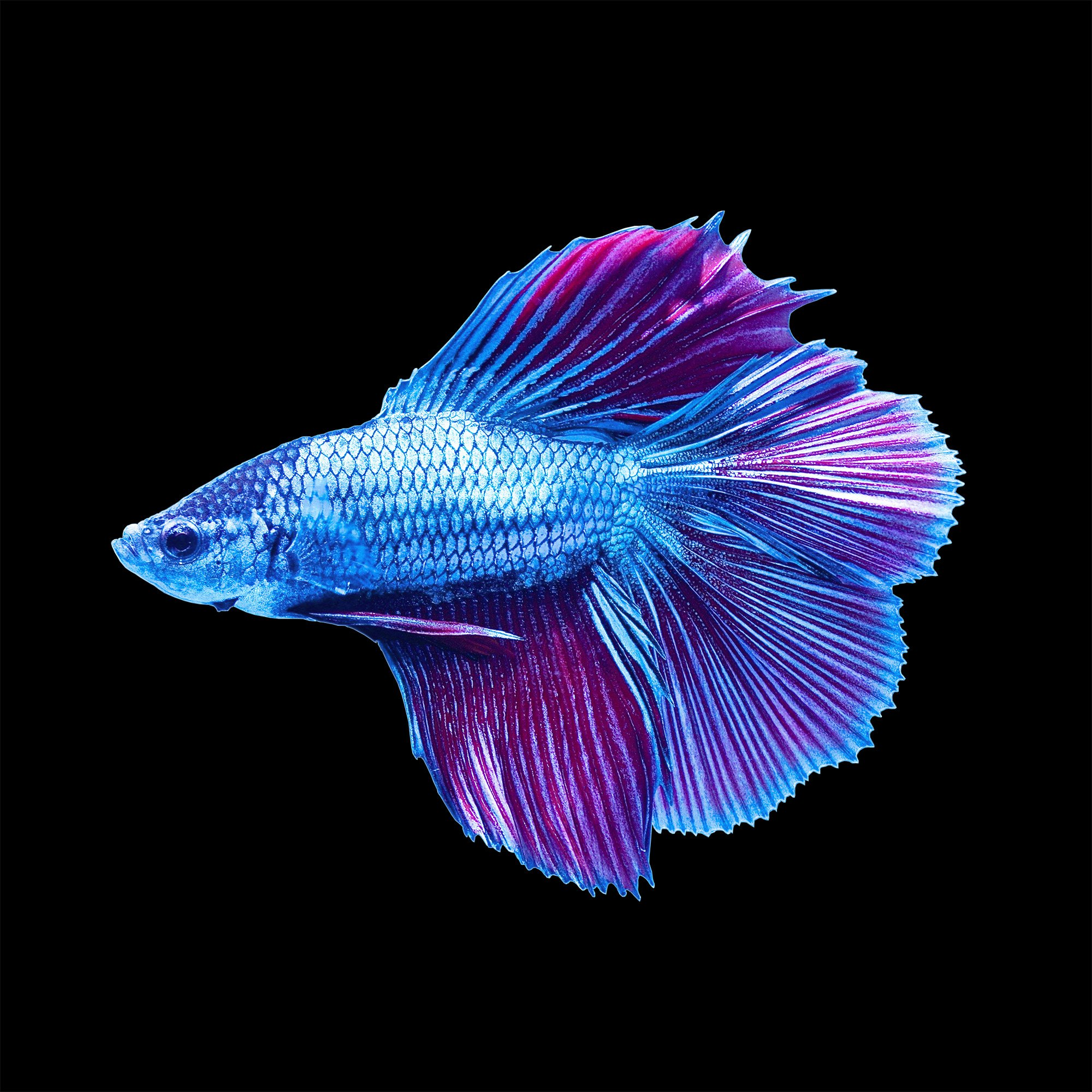 Color Tool Male Halfmoon Doubletail Betta Petco