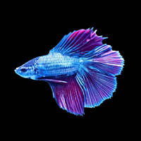 Male Halfmoon Doubletail Betta