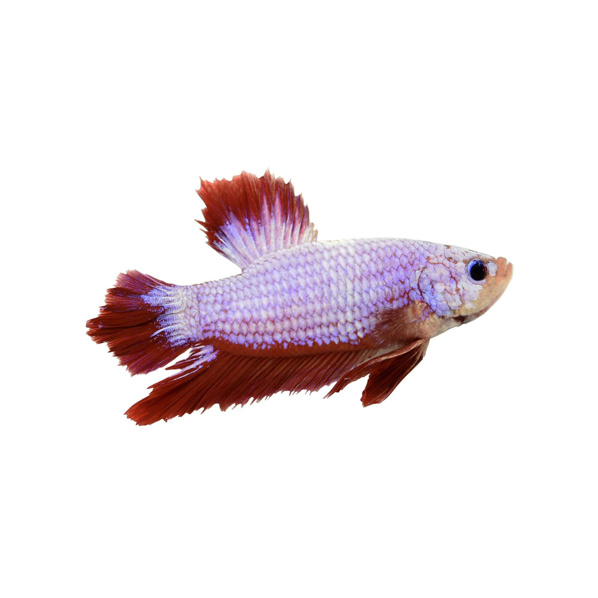 Male halfmoon plakat betta fish petco for Male veiltail betta fish