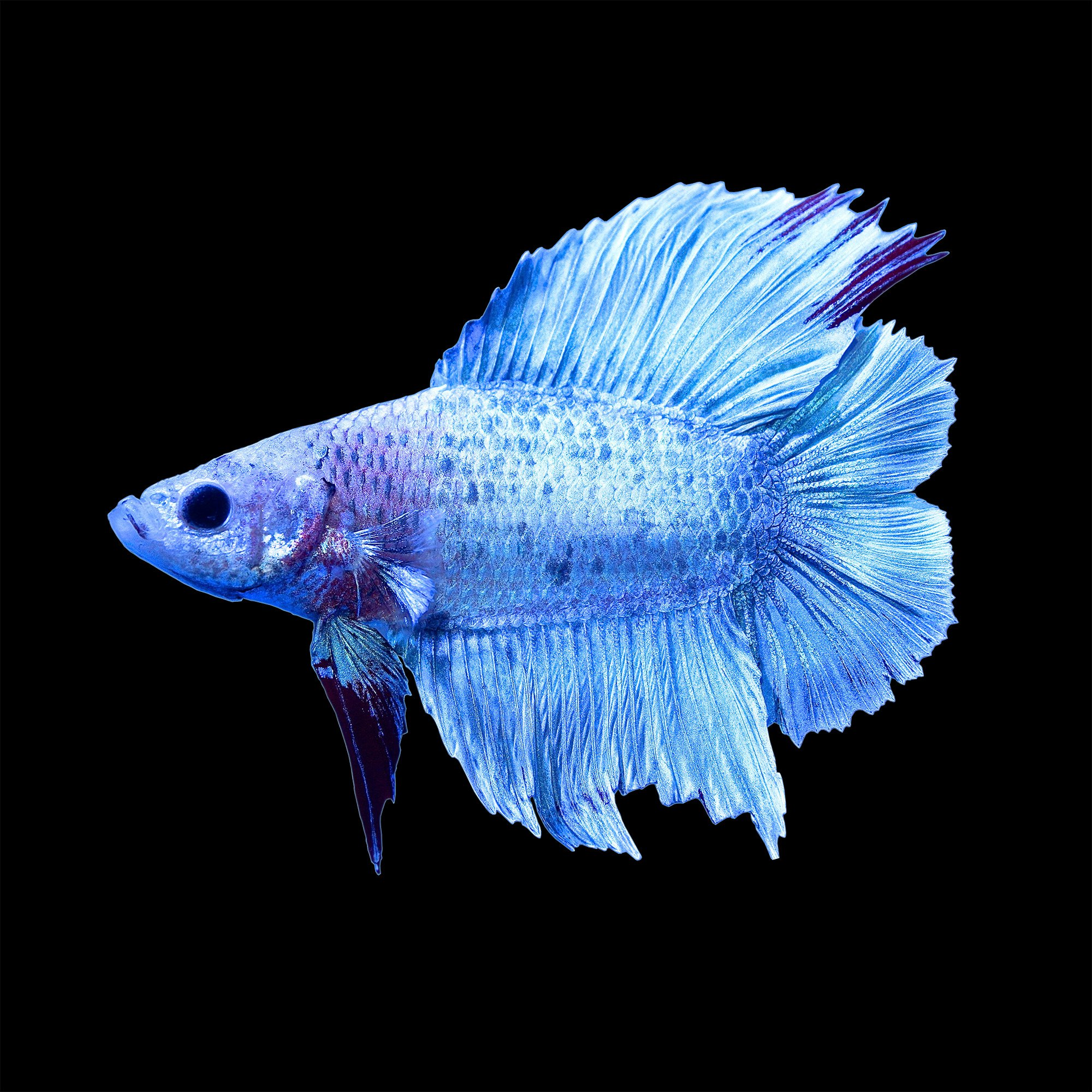 Male halfmoon doubletail plakat betta fish petco for Types of betta fish petco