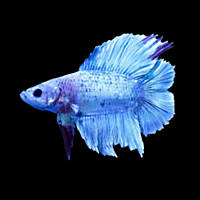 Betta fish buy live betta fish for sale petco for List of fish that can live with bettas