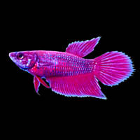 Freshwater aquarium fish live freshwater fish for for Female betta fish names