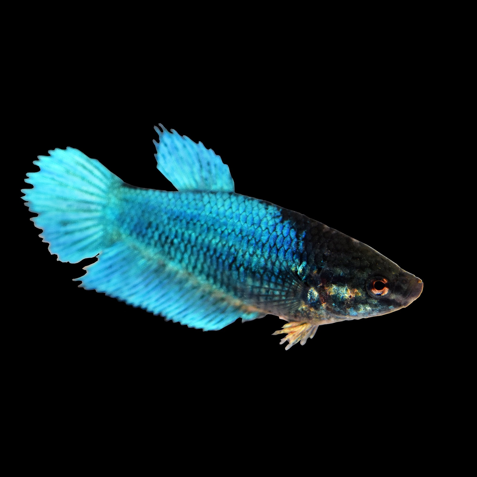 blue female veiltail betta fish petco