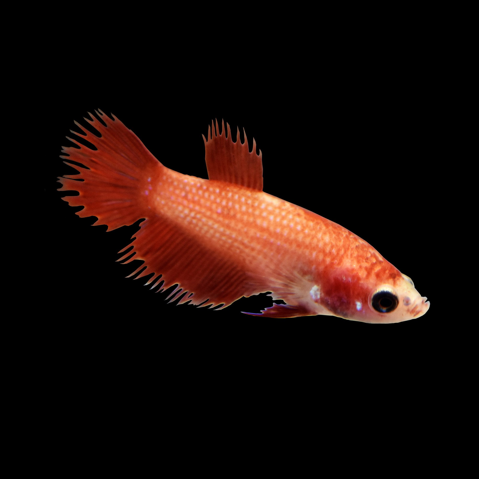 Red female crowntail betta fish petco for Types of betta fish petco
