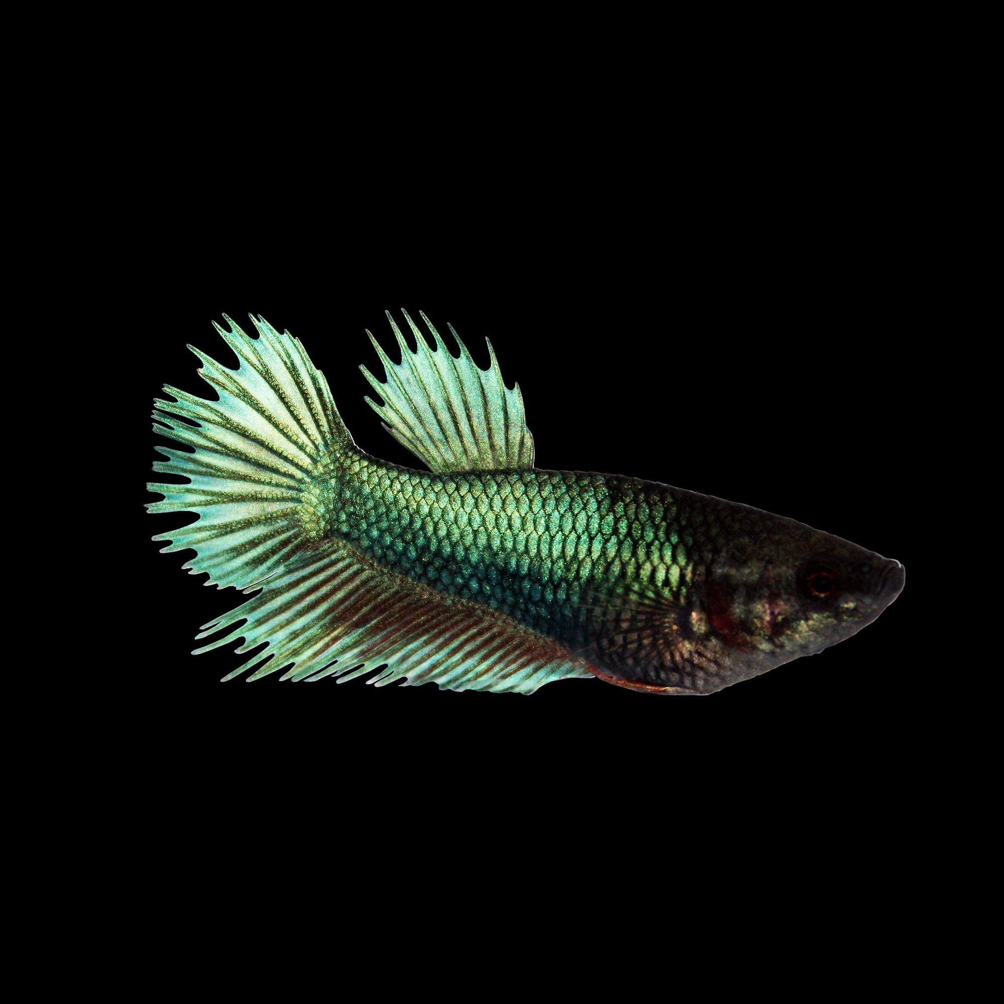 Green female crowntail betta fish petco for Types of betta fish petco