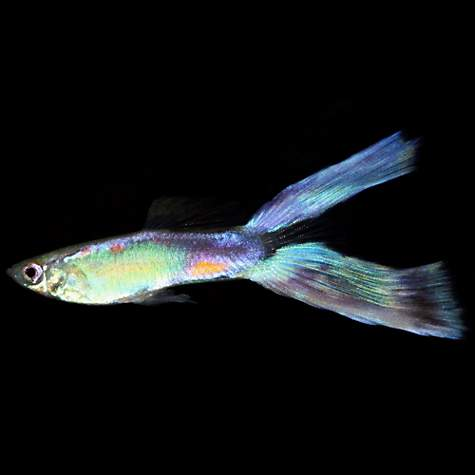 Lyretail guppy petco for Live fish store