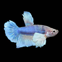 Elephant Ear Halfmoon Plakat Betta