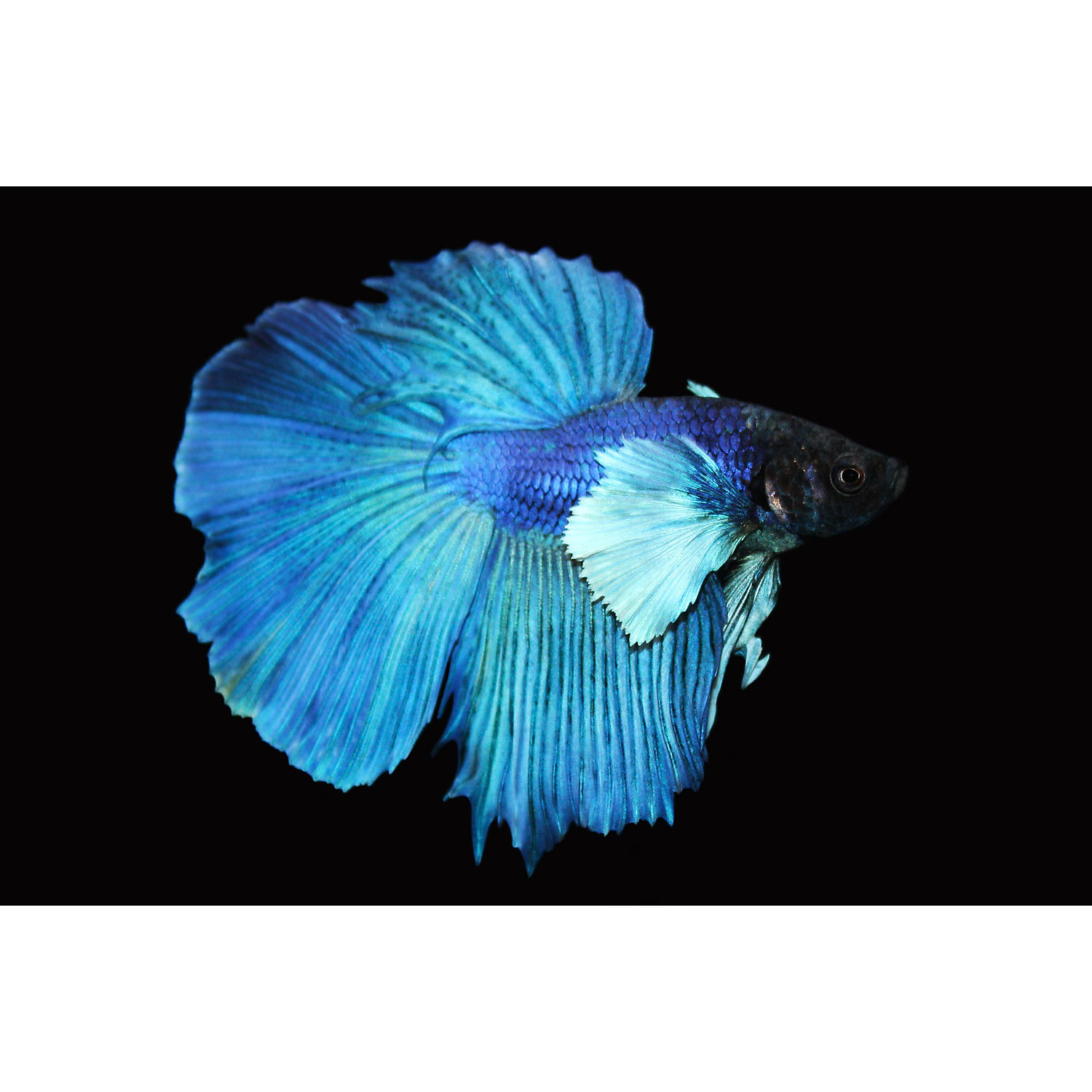 Elephant Ear Halfmoon Betta X Small