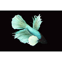 Elephant Ear Delta Tail Betta