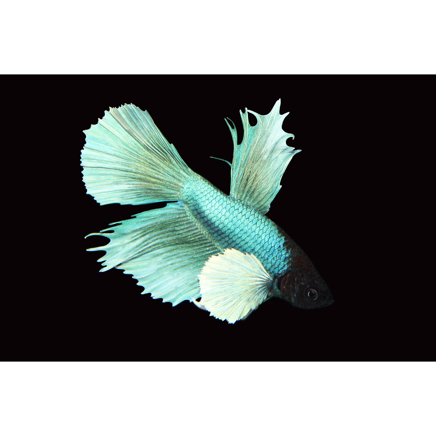 Elephant Ear Delta Tail Betta X Small