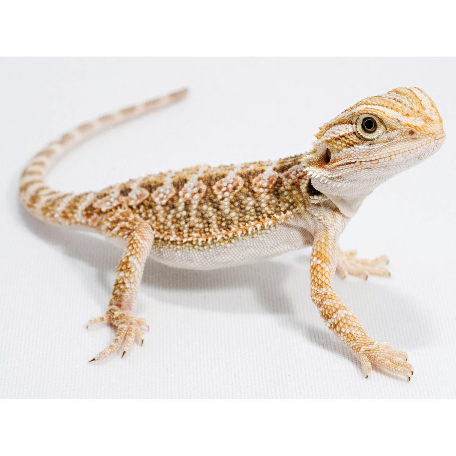 Buy Live Bearded Dragons For