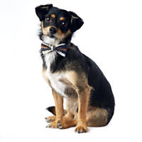 Wag-A-Tude Navy and Tan Plaid Bowtie