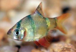 Freshwater semi aggressive care sheet petco for Semi aggressive fish