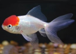 Goldfish and koi for Koi fish life span