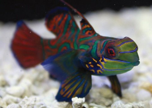 Image gallery mandarin goby for Petco saltwater fish