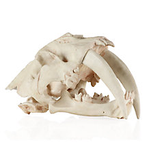 Saber Tooth Tiger Skull