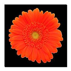 Trademark Global Orange Gerber Daisy Gallery