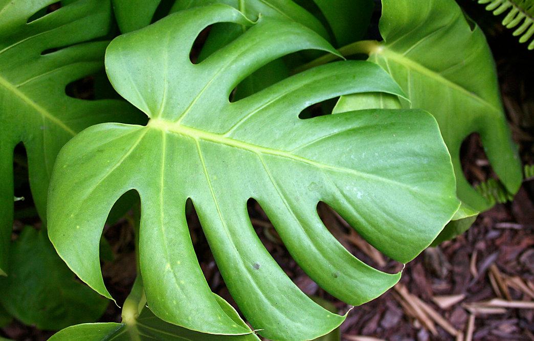 Plant Spotlight: Monstera deliciosa