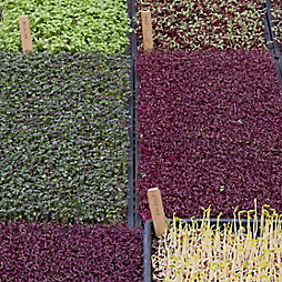 The Many Charms of Microgreens