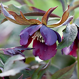 What's in Bloom: Hellebore