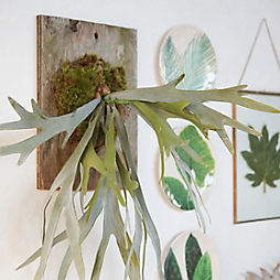 Faux Real: A Staghorn Fern Mount