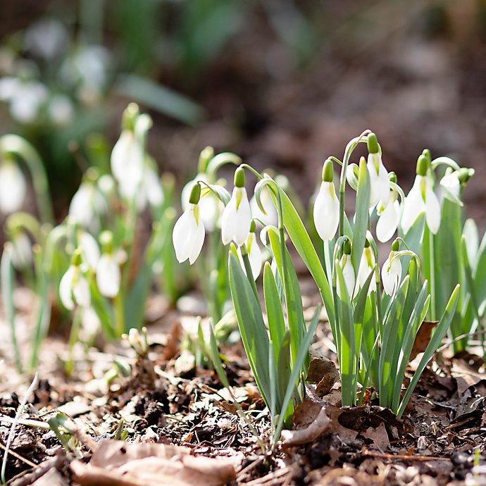 6 Things: Spring Snowdrops in Bloom