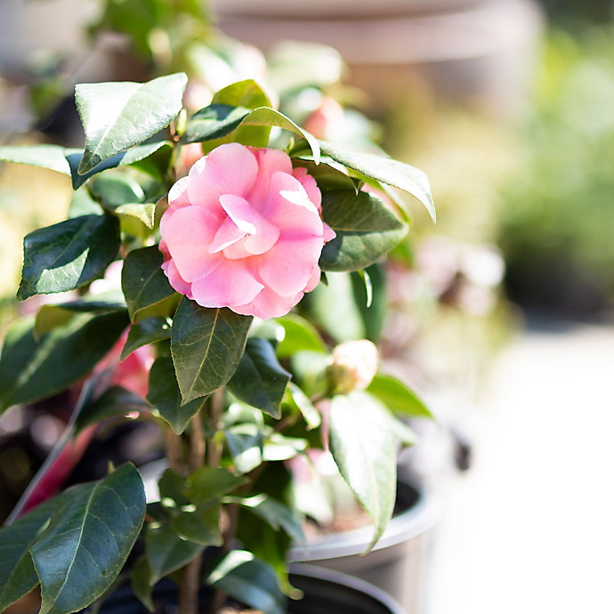 New in the Nursery: Pink Flowers for Spring