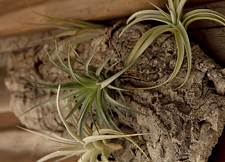 How-to: Caring for Tillandsia