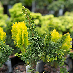 New in the Nursery: Dwarf Conifers