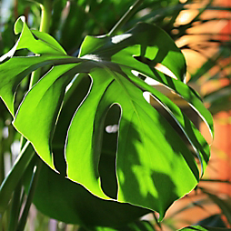 6 Tropicals with Fantastic Foliage