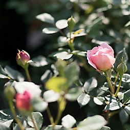 The Fascinating History of David Austin Roses