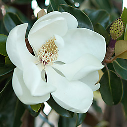 New in the Nursery: Magnolia grandiflora