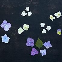 Specimen Guide: Hydrangea