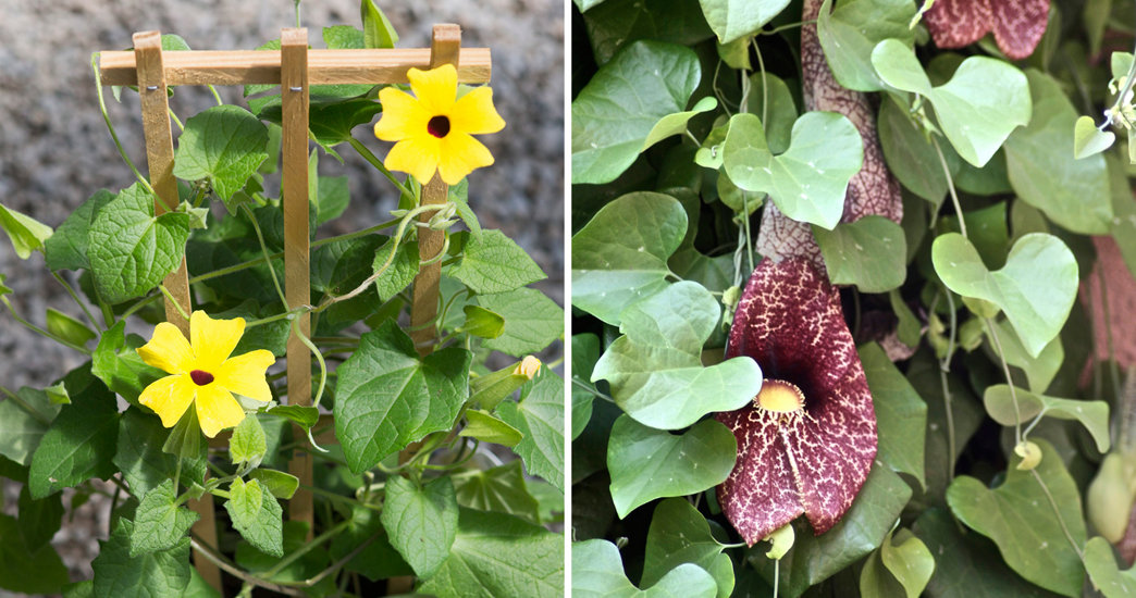 five favorites climbing plants  vines  the blog at terrain, Beautiful flower