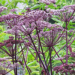 The Humble Umbel